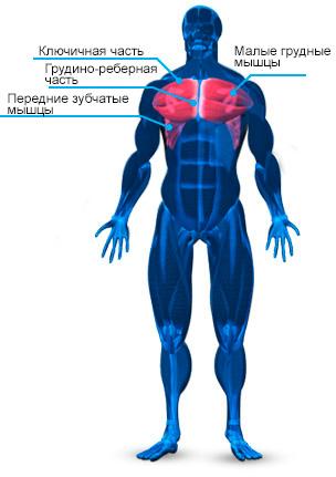 anatomiya-grudnih