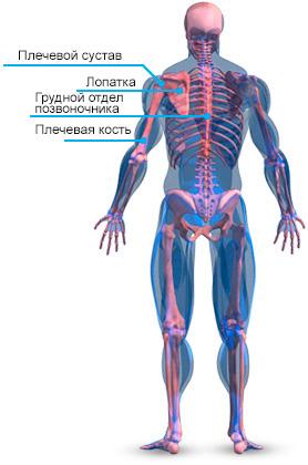 anatomiya-kostey-plecha