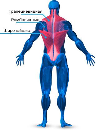 anatomiya-mishc-spiny