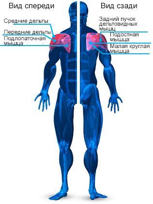 anatomiya-plech
