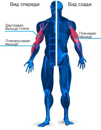 mishci-ruk-anatomiya