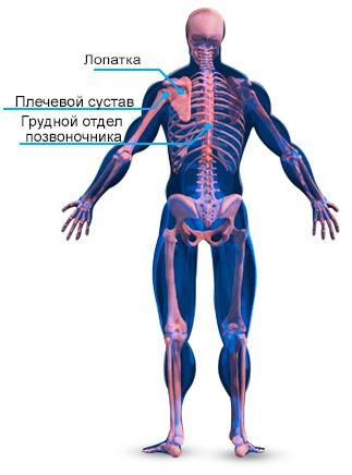Анатомия скелетных мышц спины